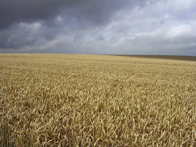 A field of ripe wheat prior the heavy rainfall