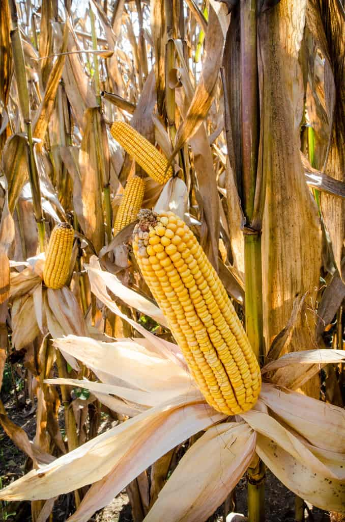 China Imports 765,000 Tonnes of Corn From the USA