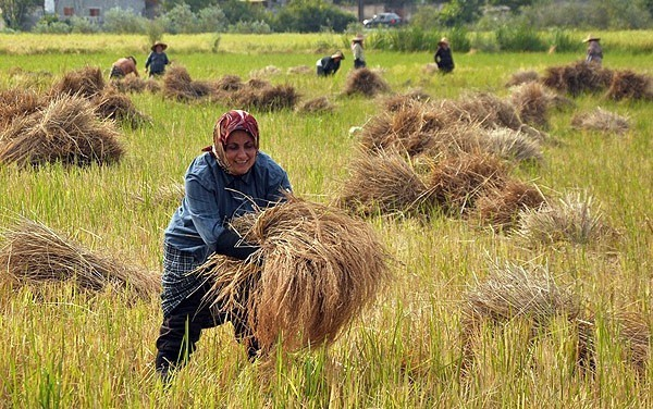 Rice Output Incerases as Paddy Cultivation Area Expands