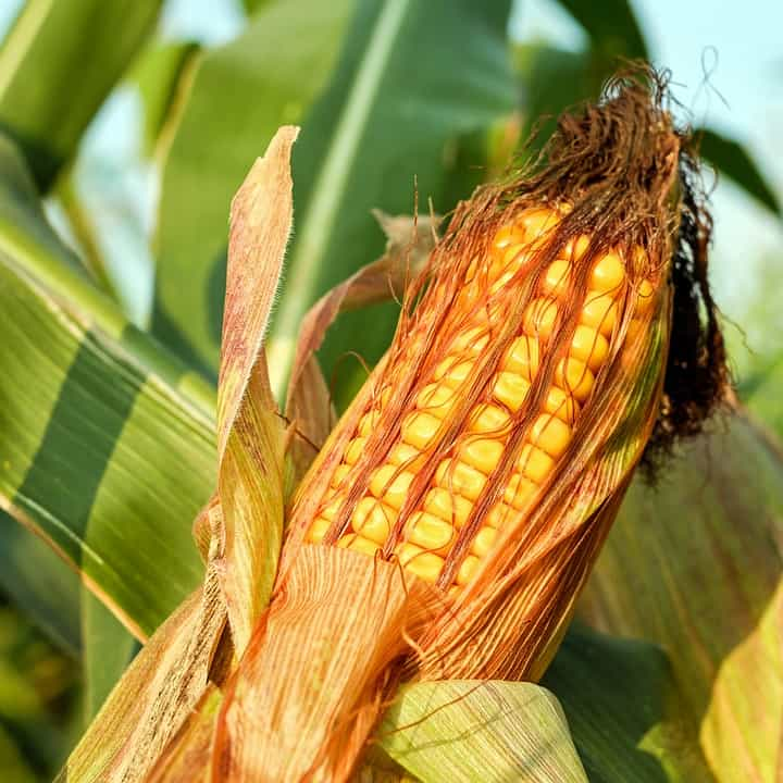 China to Import Corn from the USA
