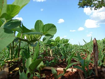 Early Onset of Monsoon to Result in Increase of Acreage for Soybean Cultivation