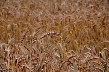 Punjab Estimates Losses of over INR 2000 Crore Every Year on Wheat Procurement